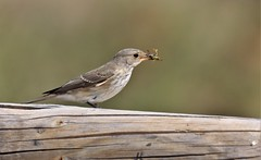 Spotted Flycatcher      (Muscicapa striata) (nick.linda) Tags: spottedflycatcher flycatchers muscicapastriata wasp insects wildandfree canon90d sigma150600c spain