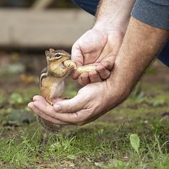 Holding Mr. Peanut (Dan Demczuk) Tags: dandemczuk canon 7d nature wildlife chippy sciuridae chipmunk peanut grass green outdoor summer hollandlandiing