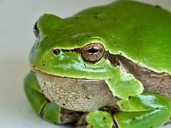 Laubfrosch / tree frog (karstenzschache) Tags: laubfrosch makro treefrog fujixt2 xf60 tiere animals amphibien frösche frogs porträt