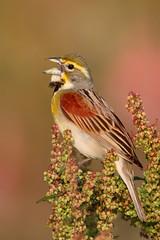 Dickcissel - Ohio Grasslands (www.studebakerstudio.com) Tags: dickcissel ohio grasslands bird nature singing song spiza americana spizaamericana