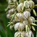 _DSC1650.jpeg   Yucca gloriosa