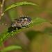 Mottled Shieldbug