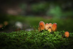 Mushrooms (Łukasz Rawa) Tags: mushrooms forest fungi woods art autumn serene season seasonal september bokeh beautiful botanical beautyinnature nature naturephotography nopeople tranquility warsaw moss green poland olympus summilux outside outdoors omd micro43 trees horizontal closeup colorimage calm selectivefocus