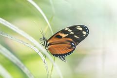 Heliconius (fabriciodo2) Tags: heliconius papillon butterfly macro sigma150 nikond750
