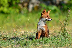Istuv rebane (ott.rebane) Tags: vulpesvulpes redfox rebane sit listen nature wildlife summer mammal animal fox