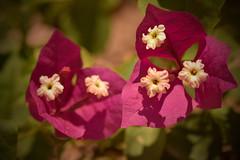 El verdadero amor consiste en estar separados y que nada cambie. (Elena m.d. 12M views.) Tags: flower pink 2019 flores macrofotografia miravet cataluña jardin