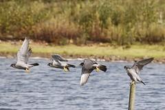 Peregrine falcon liftoff (ejwwest) Tags: