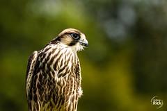 (rick_wolfgang) Tags: kreuzenstein lannerfalke vogel