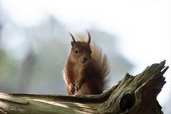 Red Squirrel (DanRansley) Tags: bif brownseaisland danransleyphotography danransleynet dorset sternasandvicensis animal bird birding conservation feathers flight nature sandwichtern tern wildlife