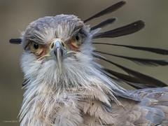 Secretary Bird (fnndntr) Tags: blijdorp diergaardeblijdorp diergaarde secretarisvogel birdsofprey longlegs secretarybird rotterdamzoo sagittariusserpentarius