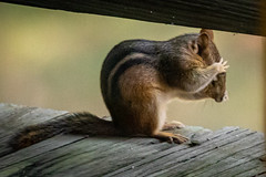 10 lessons from nature: 1) SEE NO EVIL! (robertskirk1) Tags: nature outdoor wildlife animal chipmunk mclean virginia va fairfax kent gardens park lesson see no evil