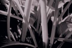 The stalks. Abstraction. Monochrome. (ALEKSANDR RYBAK) Tags: монохромный макро крупный план стебли листья растения чёрное белое свет тень monochrome macro closeup stalks leaves plants black white shine shadow