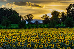 Yellow is beautiful (FVillalpando) Tags: sunflower sunset yellow light sky trees clouds ngysa nature