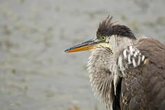 Grand héron / Great Blue Heron (alainmaire71) Tags: oiseau bird ardeidae ardeaherodias grandhéron greatblueheron nature quebec canada
