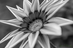 View Of Gazania Flower In Black And White Version (Love for Architecture) Tags: aroma autumn background beautiful beauty bed bloom blurbackground botanical botany bright bud centre closeup colorful cultivated daytime decorations details environment exotic flower flowermacro focus fragrant fresh freshnessflora garden green grow horticulture leaves nature orange outdoors plant pollengrain pretty pure radiant seasonal spring stems striped suburban tender tropical vegetation vibrant vivid newdelhi delhi india