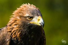 (rick_wolfgang) Tags: kreuzenstein steinadler vogel