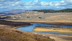 Hayden Valley (San Francisco Gal) Tags: bison animal herd haydenvalley yellowstoneriver river water mountain valley grass sky cloud yellowstonenationalpark wyoming forest buffalo tree ngc npc
