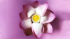 Lotus (Luc1659) Tags: loto flower pink macro estate yellow petali