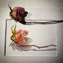 Day 1508. The #rose #painting for today. #watercolour #watercolourakolamble #sketching #stilllife #flower #art #fabrianoartistico #hotpress #paper #dailyproject (akolamble) Tags: rose painting watercolour watercolourakolamble sketching stilllife flower art fabrianoartistico hotpress paper dailyproject