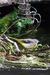 Water Wagtail (catrionatv) Tags: hampshire winchester itchennavigationcanal riveritchen waterweed branch brickarch post wire canal river water bird avian waterwagtail