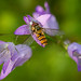 Syrphide
