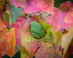 70326277_2669587736395953_7389496532757643264_n (usfs_Eastern_Region) Tags: frog fall colors chippewa national forest