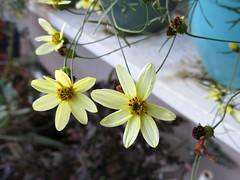 Moonbeam Coreopsis (Needleloca) Tags: 2019 garden flowers coreopsis tickseed ribbet