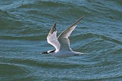 sandwich tern (DODO 1959) Tags: wildlife sandwichtern avian birds fauna water animal nature outdoor wales carmarthenshire pembreyharbour canon 7dmk2 100400mmmk2