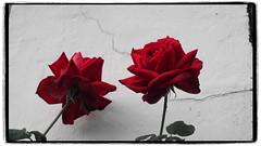 Zwillinge (1elf12) Tags: rose flower blume schleswig germany deutschland blossom blüte