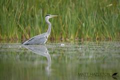 Grey heron (Matt Hazleton) Tags: greyheron heron ardeacinerea bird wildlife nature animal outdoor canon canoneos7dmk2 canon100400mm eos 7dmk2 100400mm matthazleton matthazphoto northamptonshire