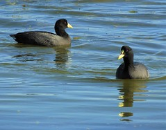 Life Birds:  White-Winged Coot (L), and Red-Gartered Coot (R) (Ruby 2417) Tags: life lifer rare rarity coot bird wildlife nature tongoy chile wetland estuary water sea ocean lagoon reflection