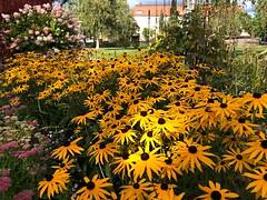 Orange Coneflowers🌼 (halleluja2014) Tags: flowers autumn september coneflower rudbeckia falun fulgida orangeconeflower mariagården seminariegatan blackeye goldsturm