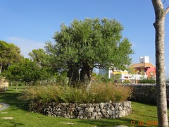 uralte Olivenbäume in Kroatien (naturgucker.de) Tags: ngidn606515486 oleaeuropaea olive