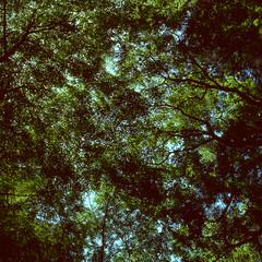 Foliage (lebre.jaime) Tags: japan 日本 kamakura 鎌倉市 tree treetop foliage analogic mediumformat mf film120 positive agfa agfachrome rs100 iso100 squareformat hasselblad 503cx carlzeiss planar cf2880 epson v600 affinity affinityphoto
