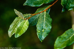 Water Droplets on Leaf - 2019-08-17 (DL_Dietz) Tags: canoneos6d dew kensingtonmetropark leaf livingstoncounty macro michigan nature naturephotography northamerica summer unitedstates waterdrops
