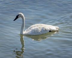Trumpeter Swan (mahar15) Tags: waterfowl birds outdoors cygnusbuccinator wildlife trumpeterswan swan nature