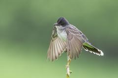 Eastern Kingbird (Joe Branco) Tags: green ontario canada branco photoshop joe wildlifephotographer lightroom nikond850 joebrancophotographer