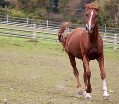 Big Red (Sandra Mahle) Tags: horse horses equine animals animal canon canonphotography ngysa