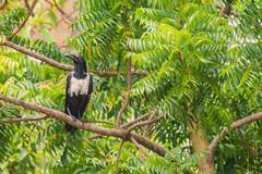 UN CORVO   ---   A CROW (Ezio Donati is ) Tags: uccelli birds animali animals foresta forest alberi trees natura nature westafrica costadavorio areataimboitem fiumebandama
