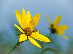 Autumn Coreopsis (Shannonsong) Tags: fall autumn coreopsis flower moth plant yellow blossom bloom