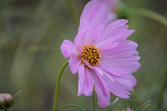 Pretty in Pink (Anton Shomali - Thank you for over 3 million views) Tags: nature photography flowers photo yellow flickr beauty beautiful colors backyard pink flower closeup macro white cosmos with tubular petals dark light sony garden summer hot vase clouds sky spring wind slta77v camera green grass plant plants sunshine shadow sun background hidden treasure colours pretty prettyinpink sonyslta77v sonycamera