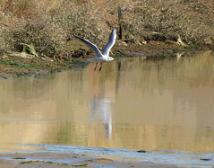 Seagull:  19.9.19. (VolVal) Tags: dorset bournemouth hengistburyhead bird seagull lagoon september
