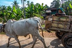 Slow Lane (shapeshift) Tags: asia cambodia cart countryroad cows davidpham davidphamsf documentary people road shapeshift shapeshiftphoto siempreap socialdocumentary southeastasia stores street streetphotography transport transportation travel russeiluk siemreapprovince
