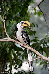 Southern Yellow-billed Hornbill - Tockus leucomelas (HGHjim) Tags: southernyellowbilledhornbill tockusleucomelas southern yellowbilled hornbill tockus leucomelas