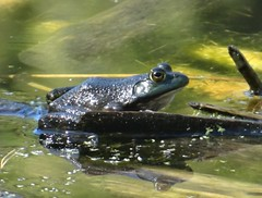 Tuesday's frog (EcoSnake) Tags: americanbullfrog lithobatescatesbeiana frogs amphibians wildlife fall september idahofishandgame naturecenter