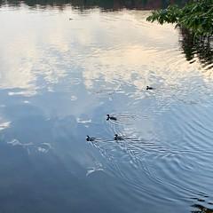 mergansers on the move (pigdump) Tags: mactier muskoka merganser duck ducks stewartlake