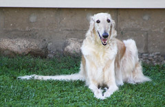 Charlie (Muzik Hounds) Tags: borzoi canine muzik russian hound gold
