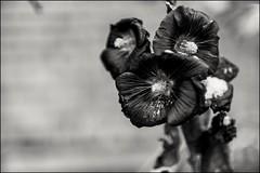 17dri0231 (dmitryzhkov) Tags: nature bw blackandwhite monochrome naturephoto naturephotography flora flower winter snow moscow city russia urban