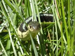 A curious garter snake--Explored (yooperann) Tags: garter snake thamnophis upper peninsula michigan delta county nature reptile snakeinthegrass narrowfellowinthegrass emily dickinson poem poetry illustrated