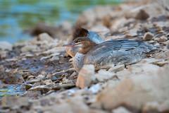 Common Merganser (Jami Bollschweiler Photography) Tags: common merganser utah bird photography wildlife wild free lake